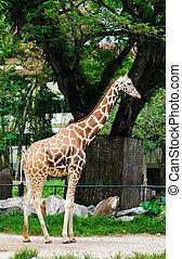 Giraffa camelopardalis standing tall