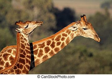 giraffa, interazione