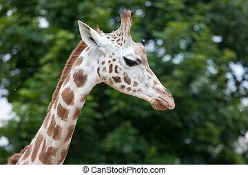 (giraffa, rothschildi), jirafa, camelopardalis, rothschild