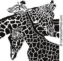 giraffa, teste