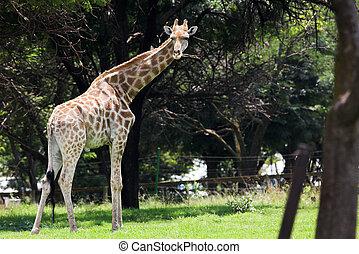 Giraffe #5 - Watchful Giraffe eating leaves from the trees