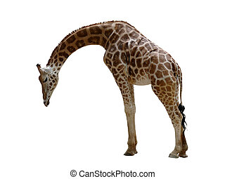 Giraffe - A giraffe isolated on a white background
