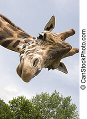 Giraffe - A giraffe that extension attention