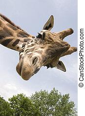 Giraffe - A giraffe that extension attention