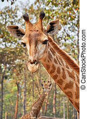 Giraffe - A giraffe's habitat is usually found in African...
