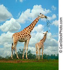 Giraffe - A mother and young giraffe share a branch.