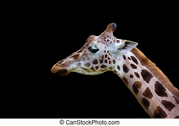 Giraffe, a portrait on a black background