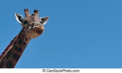 Giraffe African Wildlife - Giraffe (Giraffa camelopardalis)...