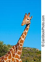Giraffe against blue sky