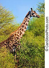 Giraffe among trees. Safari in Serengeti, Tanzania, Africa