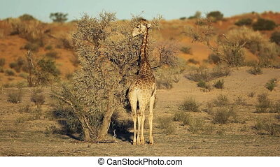 A giraffe (Giraffa camelopardalis) feeding on a Acacia tree, Kalahari desert, South Africa