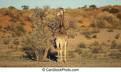 Giraffe and Acacia tree - A giraffe (Giraffa camelopardalis)...