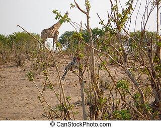 Giraffe and bird in savanna