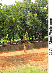 giraffe and nature in the zoo