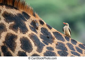 Giraffe and Oxpecker Bird - Tanzania, Africa - Giraffe -...
