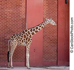 Giraffe and Red Brick