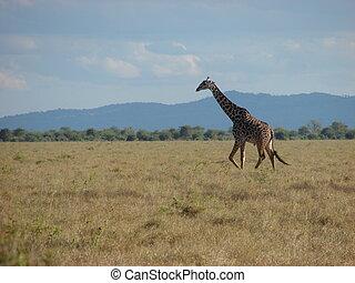 giraffe and savanna