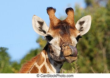Giraffe and Tongue - Funny giraffe with it\'s long purple...