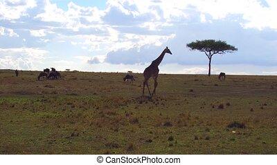 giraffe and wildebeests in savanna at africa - animal,...