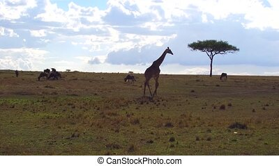 giraffe and wildebeests in savanna at africa - animal,...