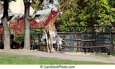 Giraffe and zebra in pen zoo, walk by grass at sunny day