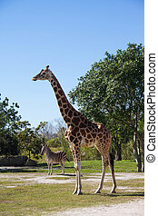Giraffe and zebra on field with blue sky