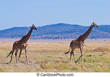Giraffe animal in a national park in Kenya