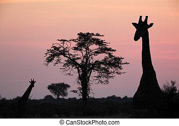 Giraffe at dusk in the Savuti area of Botswana