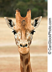 giraffe at eye level