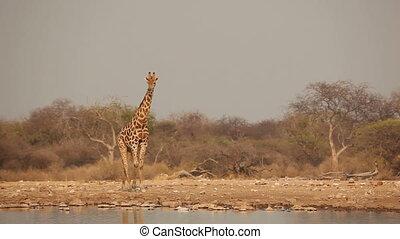 Giraffe at waterhole - A giraffe (Giraffa camelopardalis)...