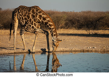 Giraffe at waterhole drinks water - Giraffe drinks water at...