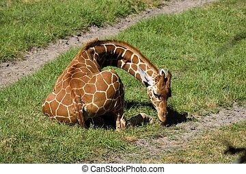 Giraffe at wildlife reserve - Baby Giraffe at animal reserve...