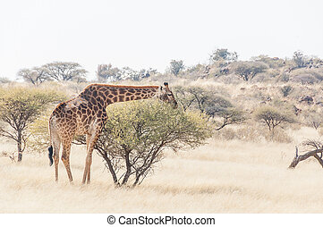 Giraffe between acacia trees
