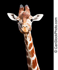 Giraffe black background - Giraffe head and neck isolated...