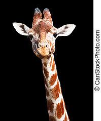 Giraffe black background - Giraffe head and neck isolated...