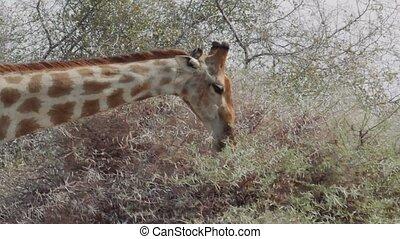close up of giraffe camelopardalis grazing on tree in Etosha national Park, Ombika, Kunene, Namibia