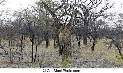 Giraffe camelopardalis in Etosha, Africa safari wildlife