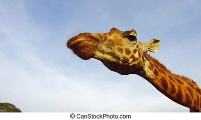giraffe catching feed in africa - animal, nature and...