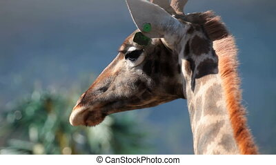 Close-up of a giraffe head and neck