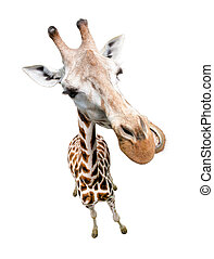 Giraffe closeup portrait isolated on white. Top view wide...
