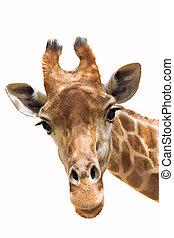 giraffe, closeup