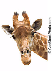 Giraffe closeup - Close up shot of giraffe head isolate on...