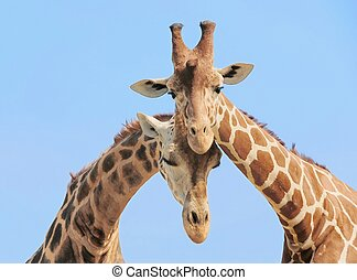 Giraffe couple in love with blue sky on background