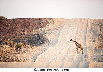 Giraffe crossing a road