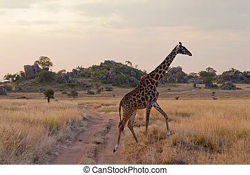 Giraffe crossing the road in Serengeti National Park