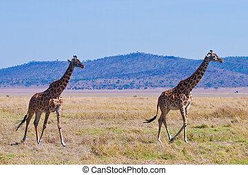 giraffe, dier, in, een, nationaal park