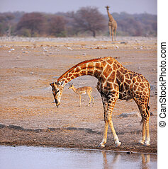 Giraffe drink at waterhole - Large Giraffe at waterhole with...