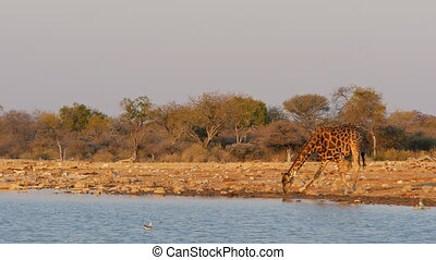 giraffe drinking at a river sunset