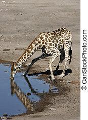 Giraffe drinking at a waterhole - Namibia