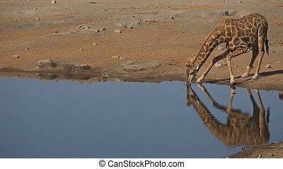 Giraffe drinking at waterhole - View of giraffe drinking...